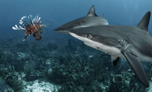 Sharks-vs-Lionfish