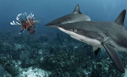 Sharks-vs-Lionfish