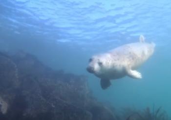 Любопытные серые тюлени. Острова Фарн