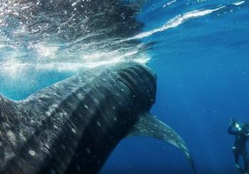Дайвинг с китовыми акулами в Мексике