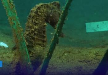 Искусственный заповедник для морских коньков