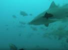 Кормление Бычьих акул на Фиджи