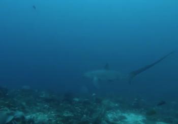 Ноябрьский дайвинг с акулой-лисицей на Малапаскуа