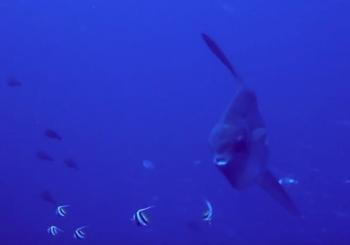 Жемчужина дайвинга на Бали. Рыба Мола Мола