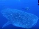 Китовой акуле сделали УЗИ под водой