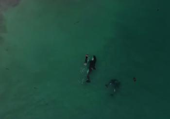Женщина плавала в окружении касаток в Новой Зеландии