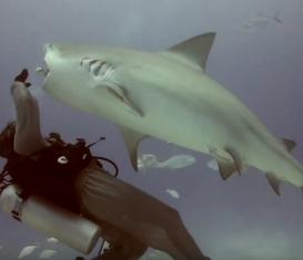 Кормление бычьих акул в Мексике 2019