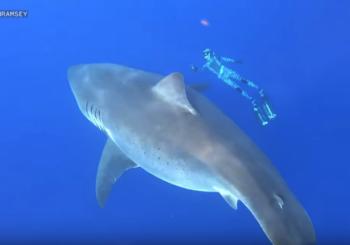 Бесстрашная девушка-дайвер плавает с большой белой акулой