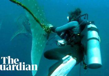 Дайверы в Таиланде попытались помочь китовой акуле