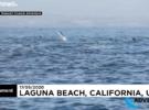 Сотни дельфинов устроили гонки у побережья Калифорнии