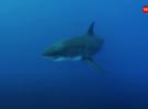 В Австралии увеличились нападения акул на людей
