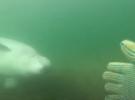 Приморский дайвер встретил белуху у острова Попова