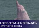 Редкие горбатые дельфины вернулись в бухты Гонконга