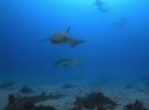 Акулы-няньки на острове Алиматха, Мальдивы