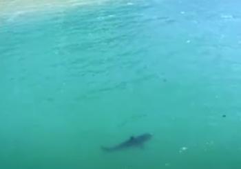Согласно исследованию, в заливе Монтерей растет популяция больших белых акул