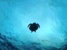 Фотограф сделал снимки редкой морской черепахи