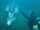 Дайвинг с дельфином Дасти в графстве Клэр, Ирландия
